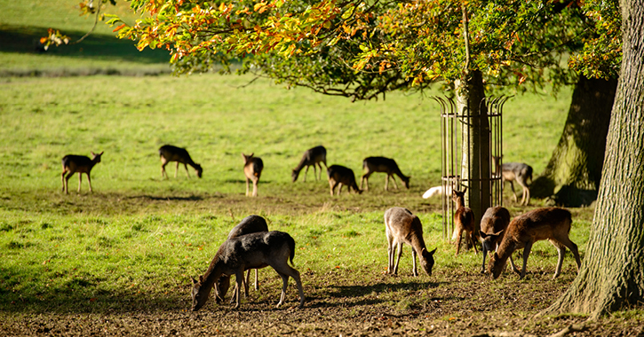 wild deer at Raby Castle, County Durham