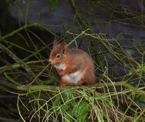 red squirrel at Killhope