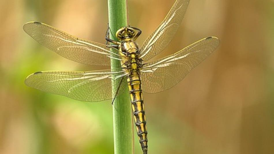 North Pennines AONB: Wild Wednesday: Dazzling Dragonflies